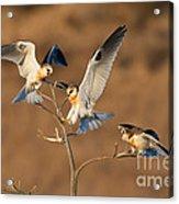 White-tailed Kite Trio Acrylic Print