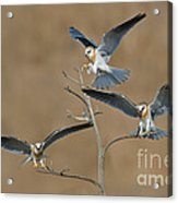 White-tailed Kite Young Acrylic Print