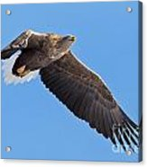White-tailed Sea Eagle Soars Acrylic Print
