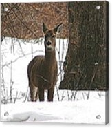 White-tailed Winter Stand  Acrylic Print