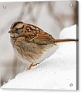 White-throated Sparrow Acrylic Print