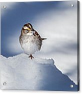 White Throated Sparrow Square Acrylic Print