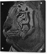 White Tiger At Night Acrylic Print