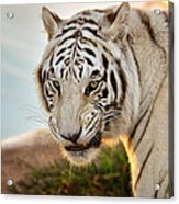 White Tiger At Sunrise Acrylic Print