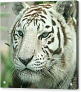 White Tiger Acrylic Print by Karen Lindquist
