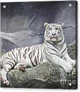 White Tiger On A Rock  Acrylic Print