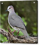 White-tipped Dove Acrylic Print