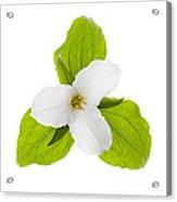 White Trillium Flower  Acrylic Print by Elena Elisseeva