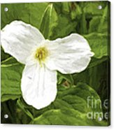 White Trillium Flower Acrylic Print