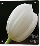 White Tulip 1 Acrylic Print