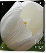 White Tulip 2 Acrylic Print
