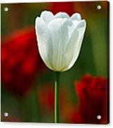 White Tulip - Featured 3 Acrylic Print
