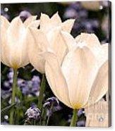 White Tulip Acrylic Print