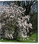 White Tulip Tree Acrylic Print