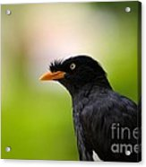 White Vented Myna Bird With Feathers Standing Above Beak Acrylic Print