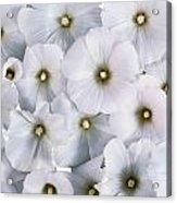 White Violets Acrylic Print