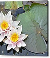 White Water Lilies Netherlands Acrylic Print by Jelger Herder