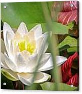 White Water Lilly Or Lotus Flower Acrylic Print