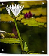 White Water Lily Acrylic Print by Julio Solar