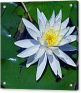 White Water Lily Acrylic Print