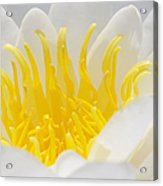 White Waterlily Detail Acrylic Print