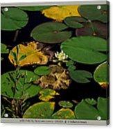 white waterlily - Nymphaea odorata - 09SE04 Acrylic Print