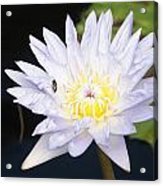 White Waterlily With Fly...   # Acrylic Print