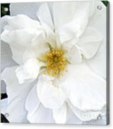 White Wild Rose Acrylic Print