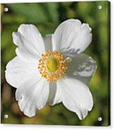 White Windflower Acrylic Print