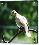 White Winged Dove Acrylic Print