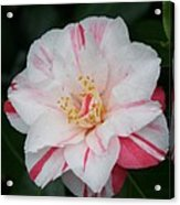 White With Pink Camellia Acrylic Print
