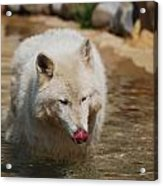 White Wolf Licking His Chops Acrylic Print