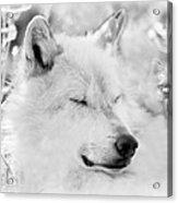 White Wolf Shut Eye Acrylic Print