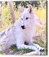White Wolf Taking It Easy Acrylic Print