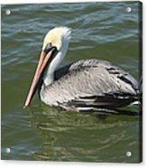 Whiteheaded Pelican Acrylic Print