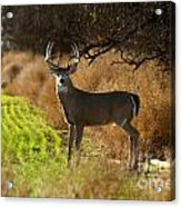 Whitetail Buck Acrylic Print