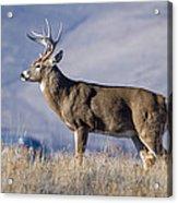 Whitetail Buck On A Ridge Acrylic Print