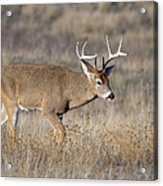 Whitetail Buck On The Move Acrylic Print