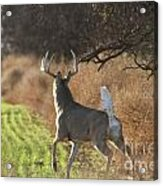 Whitetail Buck Rut Acrylic Print