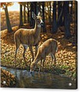 Whitetail Deer - Autumn Innocence 1 Acrylic Print