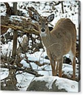 Whitetail Deer Doe In Snow Acrylic Print