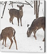 Whitetail Deer In Snowy Woods Acrylic Print