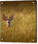 Whitetail Deer In Wheat Field Acrylic Print