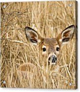 Whitetail In Weeds Acrylic Print