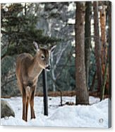 Whitetail In Woods Acrylic Print