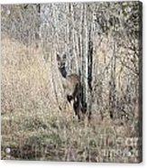 Whitetail Undercover Acrylic Print