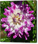 Who Dun It Dahlia Acrylic Print
