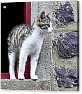 Who Goes There - Kitten Acrylic Print