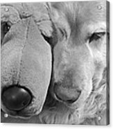 Who Has The Biggest Nose Golden Retriever Dog  Acrylic Print