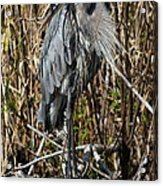 Who Is There - Great Blue Heron Acrylic Print